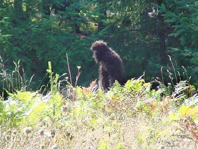 bigfoot found bigfoot photos and sightings at mt st helens near